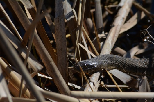 A northern water snake by Lake Ontario
